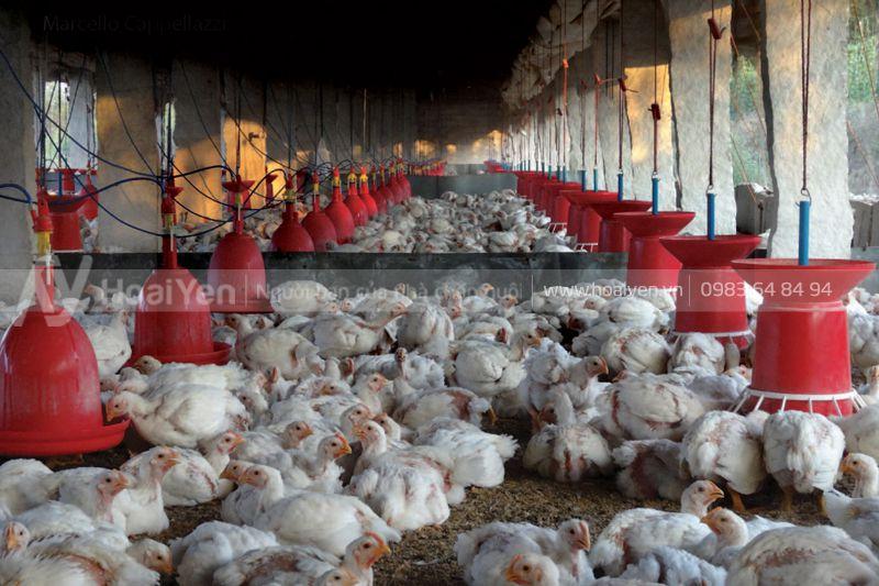 Giá máng ăn cho gà