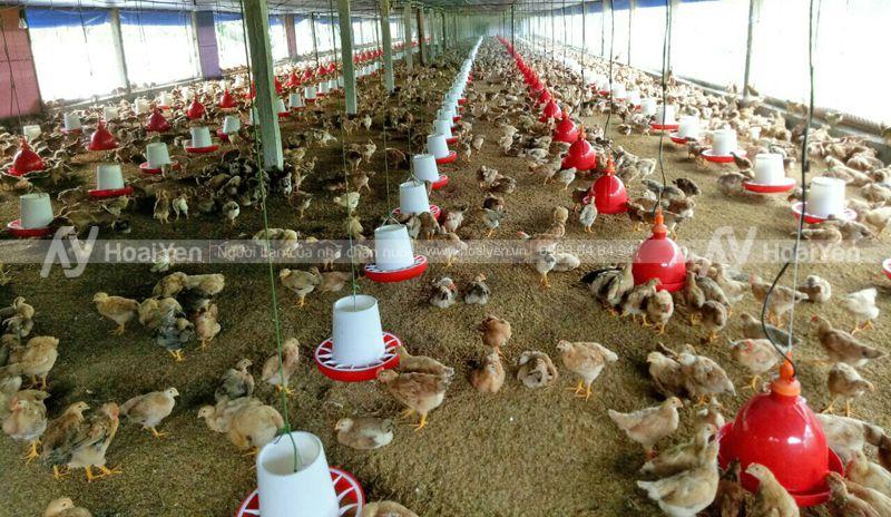 Hình ảnh thực tế tại một trang trại gà sử dụng máng ăn chống bới