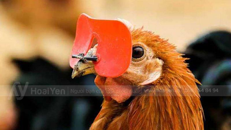 Tại sao gà đeo kính đỏ