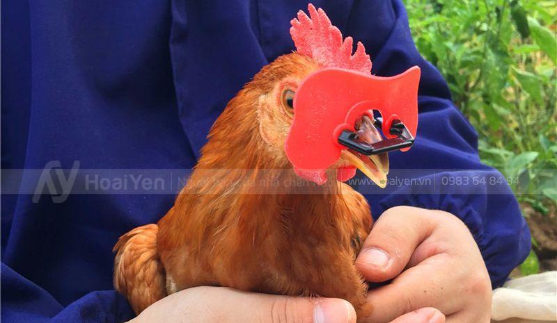 bán mắt kính cho gà