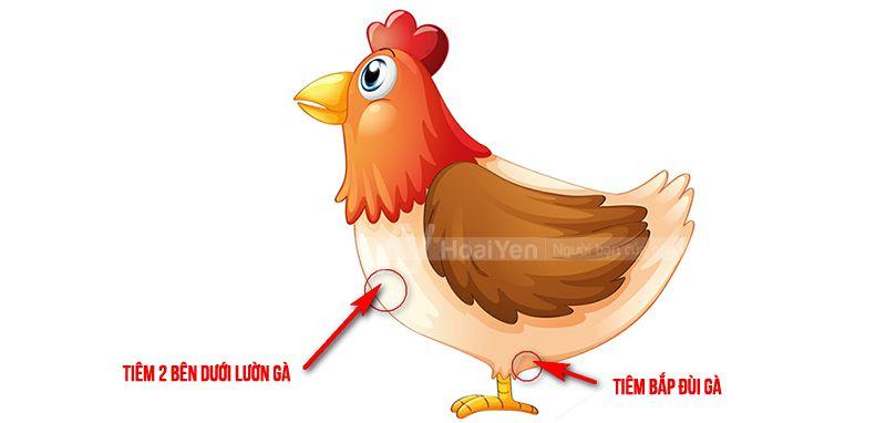 Vị trí tiêm hai bên dưới lườn gà và bắp đùi của gà