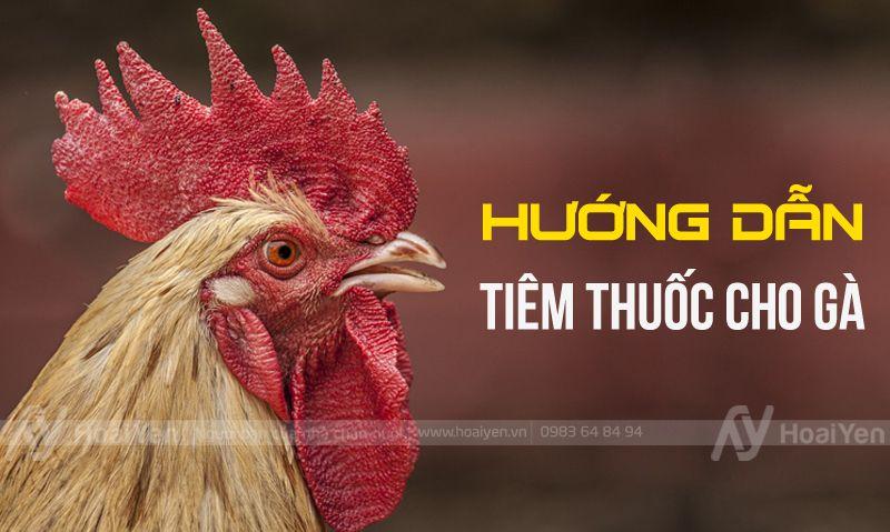 Hướng dẫn tiêm thuốc cho gà đúng cách
