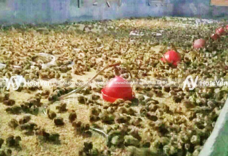 Hình ảnh thực tế trang trại sử dụng máng nước cho gà con tự động