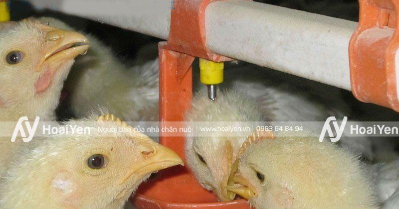 Hình ảnh thực tế tại một trang trại gà sử dụng van nước uống cho gà tự động