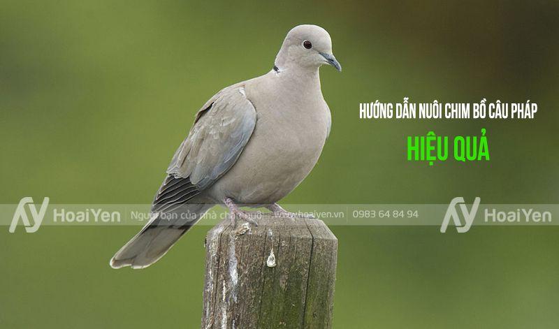 Hướng dẫn nuôi chim bồ câu Pháp hiệu quả